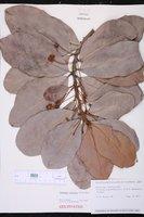 Mimusops coriacea image