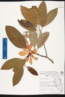 Magnolia virginiana image