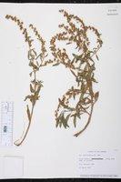 Iva cheiranthifolia image