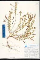 Chamaecrista rotundifolia image