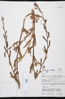 Oenothera stricta image