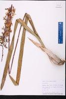 Encyclia rufa image