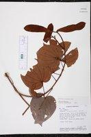 Bauhinia guianensis image