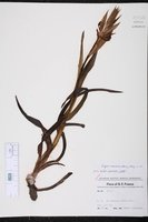 Serapias vomeracea image