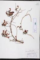 Image of Ipomoea argentifolia