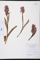 Dactylorhiza majalis image