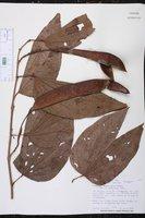 Bauhinia tarapotensis image