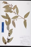 Agarista populifolia image