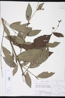 Image of Pavonia schiedeana