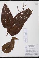Bauhinia longicuspis image