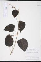 Cissus biformifolia image