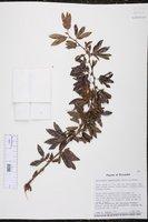 Calliandra angustifolia image