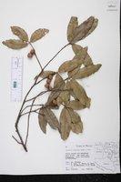 Quercus aristata image