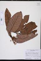 Virola calophylla image