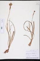 Trimezia martinicensis image
