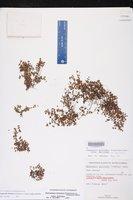 Euphorbia deltoidea subsp. deltoidea image