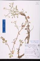Nasturtium floridanum image