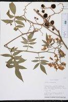 Image of Solanum ochranthum