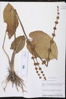 Image of Echinodorus bracteatus