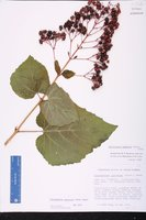 Clerodendrum japonicum image