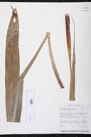 Image of Pitcairnia sceptrigera
