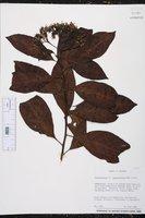 Tournefortia angustiflora image