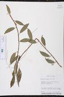 Anthurium scandens image
