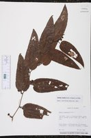 Smilax mollis image