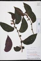 Image of Monopyle sodiroana