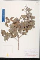 Gyminda latifolia image