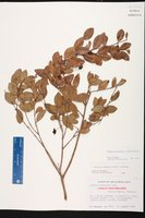 Mosiera longipes image