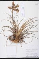 Tillandsia latifolia image