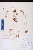 Oxalis intermedia image