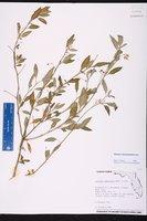 Solanum nigrescens image