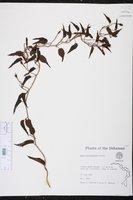 Ipomoea microdactyla image