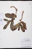 Columnea spathulata image