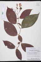 Image of Monopyle ecuadorensis