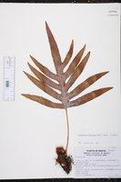 Phlebodium areolatum image