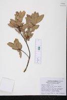 Quercus eduardi image