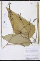 Thalia geniculata image