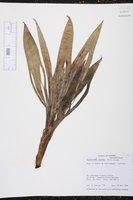 Evodianthus funifer image