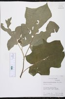 Image of Solanum ochraceoferrugineum