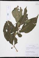 Lycianthes amatitlanensis image