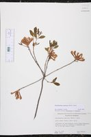 Rhododendron canescens image