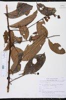 Image of Solanum coriaceum