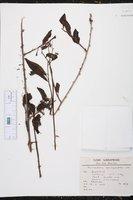 Myriopus maculatus image