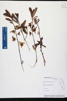 Asimina reticulata image