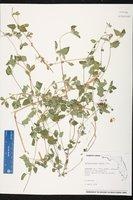 Calyptocarpus vialis image