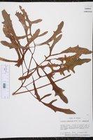 Silphium compositum var. compositum image