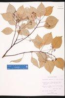 Cinnamomum camphora image